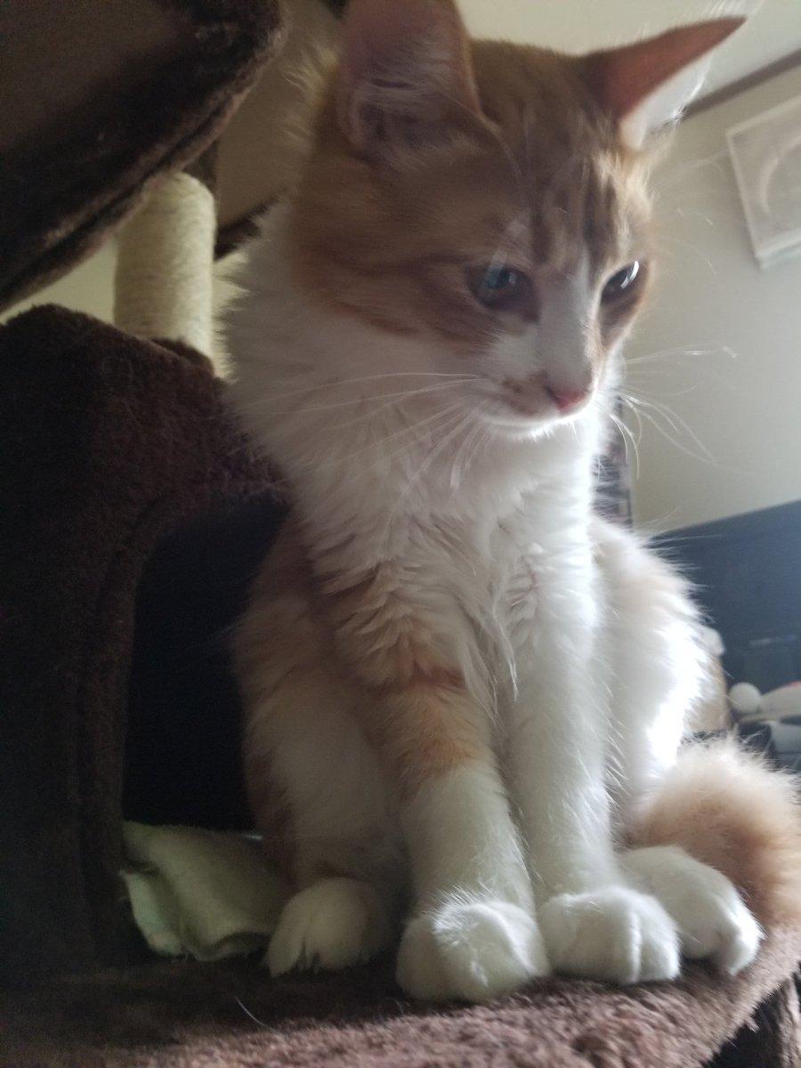 エサ待ち((´°ω°*)) #猫 #Cat #ムギチョコ