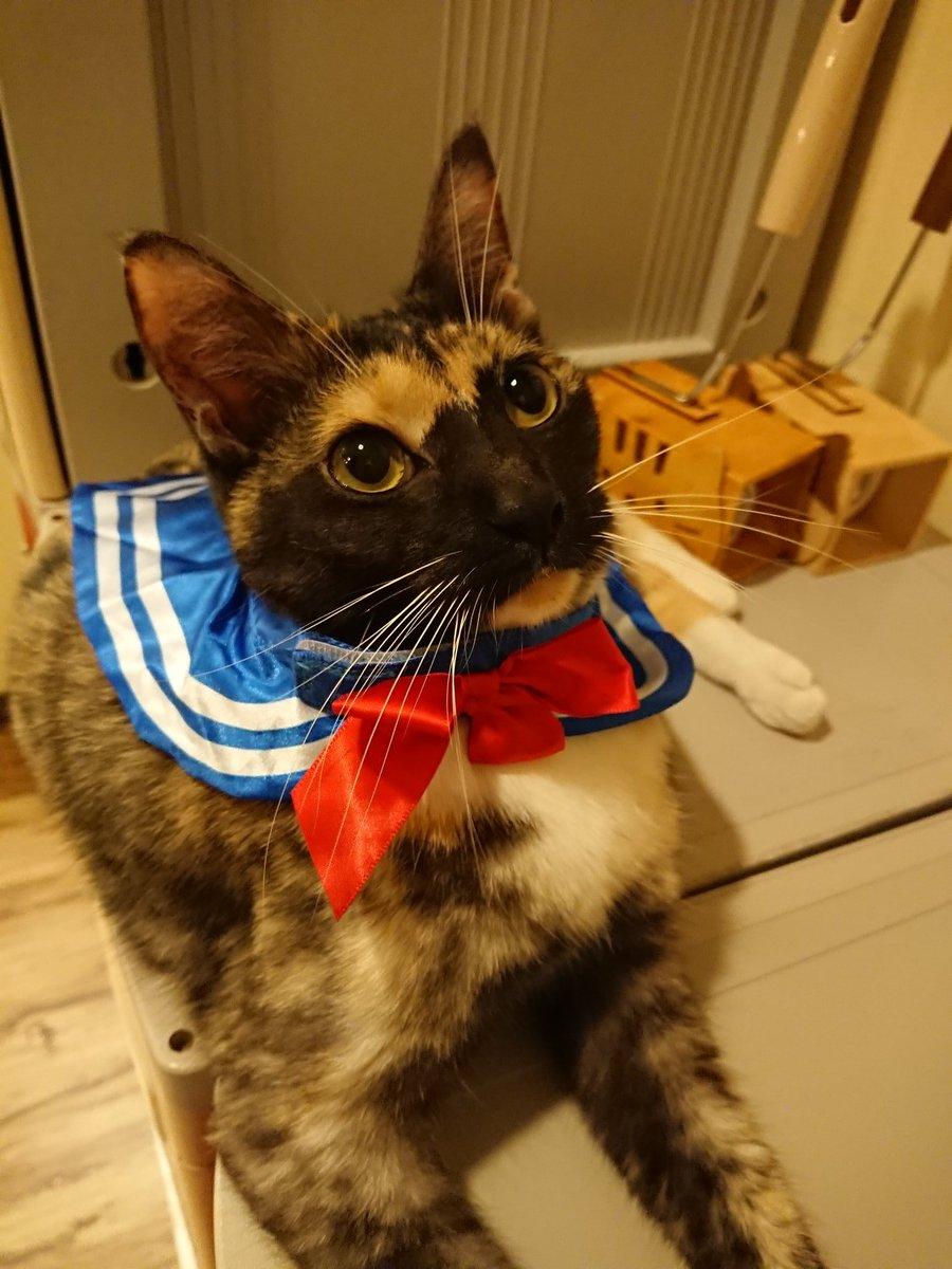 🌙セーラーくるみ🎀🌙   #里親募集中 です💗  #猫まるカフェ #猫まるカフェ上野 #猫 #猫カフェ #上野 #沖縄 #保護猫 #里親募集中猫 #くるみ #セーラー襟 #かわいい #ねこら部 #cat #cafe #ueno #catcafe #okinawa #rescuecat
