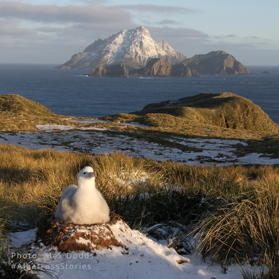 The start of July for us in the Northern Hemisphere calls for #summertime, but on #BirdIsland the 1st day of the month means a wandering albatross nest count! Julys lucky number is... 499! Nova is doing well with Sitka and Ernest using their 53 years of combined experience!