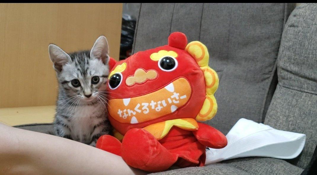 なんくるないさ〜。あめ#拡散希望 #YouTube見てください!#生後2ヶ月 #猫 #猫好きさんと繋がりたい #猫好き #猫かわいい #猫のいる生活 #子猫 #猫画像 #猫写真