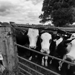 Image for the Tweet beginning: Beef and sheep farming, its
