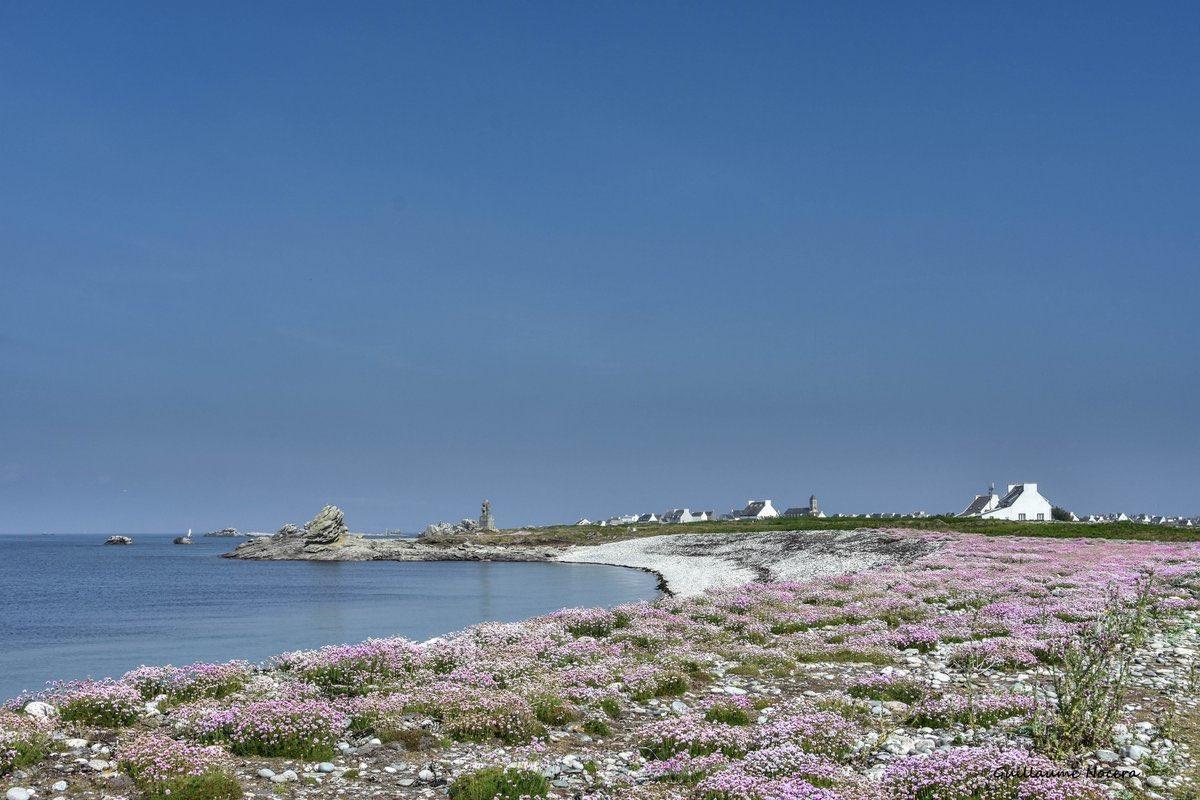 #Bretagne Arméries maritimes en fleur sur lîle de Sein #Finistère 💖🌸💖 par @NoceraGuillaume