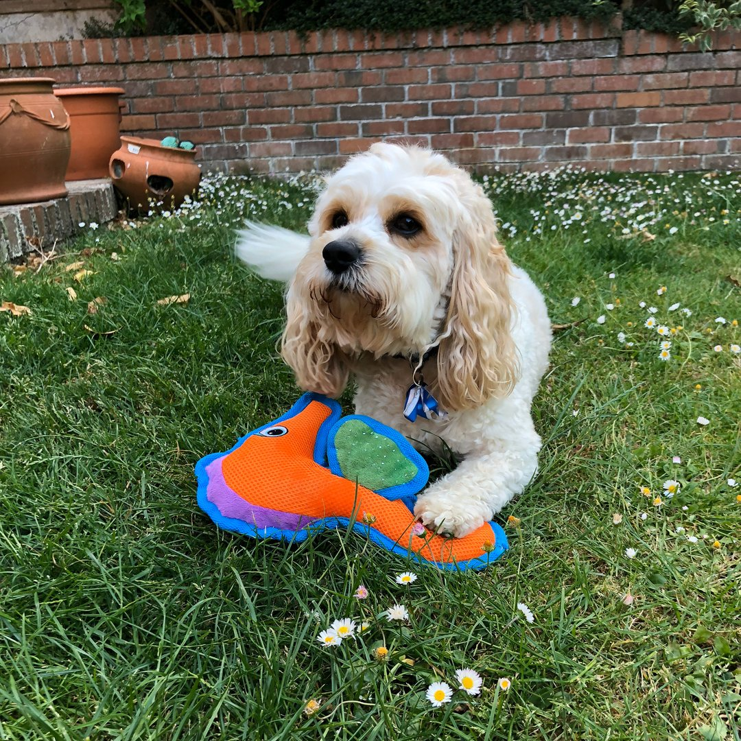 Just a good boy and his new toy #beddies4pets #cavachon #dogtoy pic.twitter.com/ue4T9YwzDf