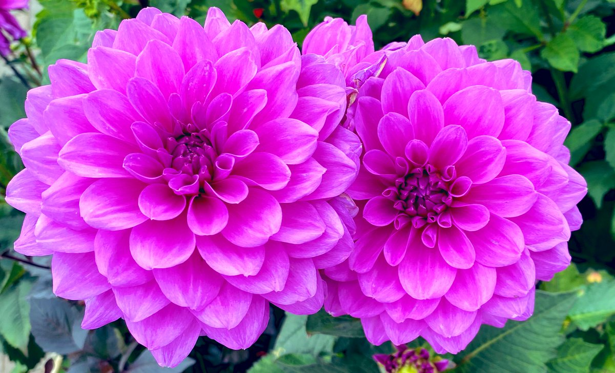 Dahlias living their best lives. Pretty in pink.#nature #flowers #pink #beauty #gardening #photographypic.twitter.com/r1HYkdO8Vz