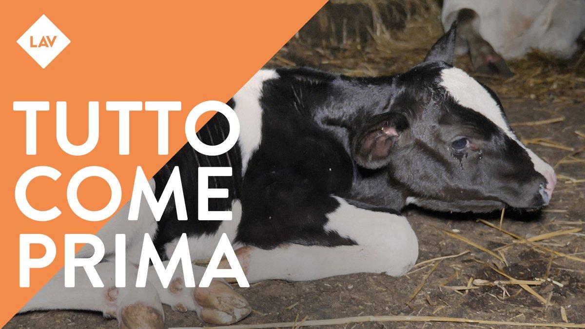 """Mesi dopo il sequestro per maltrattamento, nell'allevamento """"degli orrori"""" di Cremona è tutto come prima. Grazie #TG1 per il coraggioso servizio andato in onda ieri sera. Ora chiediamo giustizia per gli animali! @LAVonlus #NONCOMEPRIMA https://t.co/ZaceTkg4xC"""