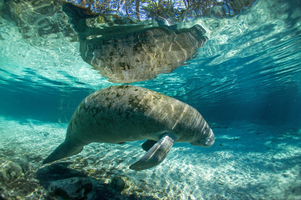 A Manatee in the Crystal River, Florida. https://t.co/zLd3DkvP5w #adventures #IntermediateFascinatingEncounters #vacation #travel #EntireFamilyEntertained #manatees #Vacations #nature #crystalriver #visitflorida https://t.co/weUkWVm3QW