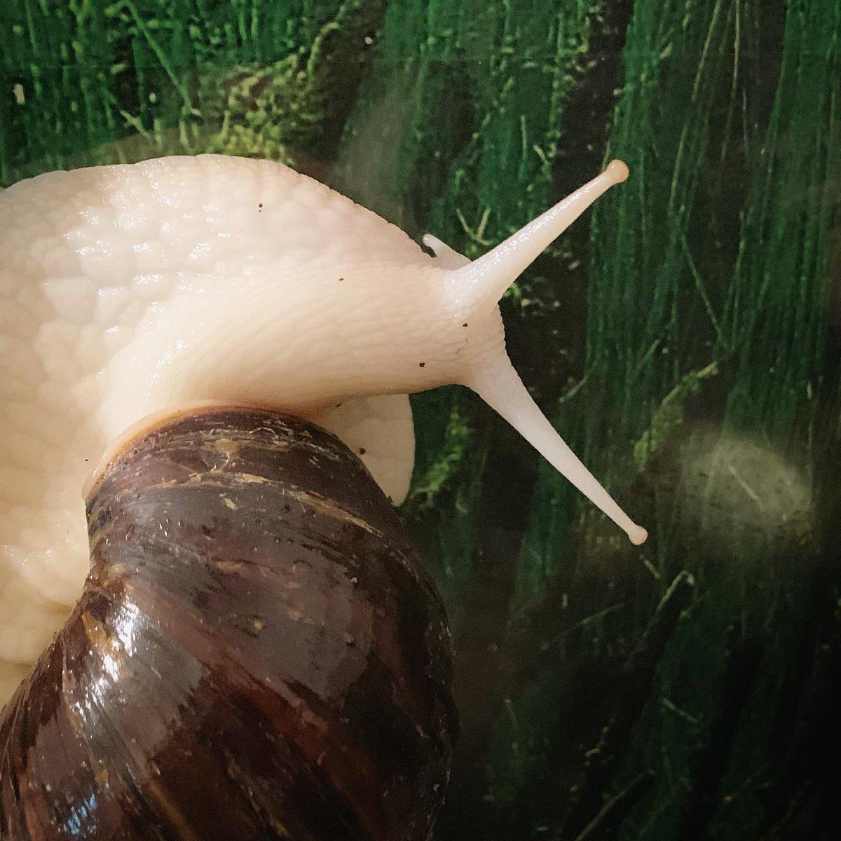 What you looking at, Cakepop? #snails #snailsofinstagram #achatina #achatinafulica #achatinasnail #latergram pic.twitter.com/DGc4YBDkTr
