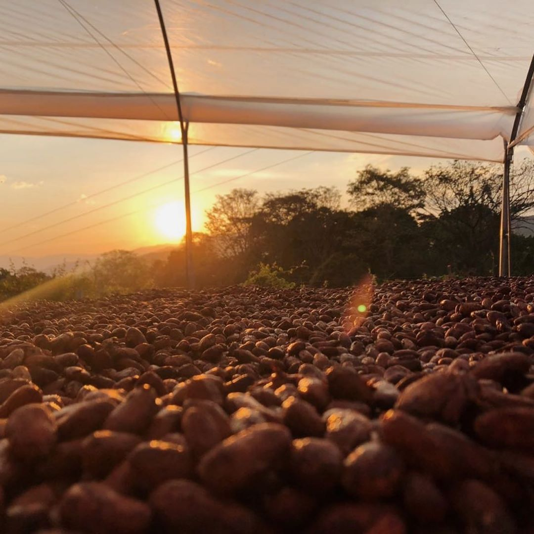 .@Luker_Chocolate is at the peak of their harvest! From Huila to Tumaco, the #cocoa pods have already matured & it is time to harvest the best cocoa in the world, Single Origin Cacao Fino de Aroma.   #singleorigin #finodearoma #chocolate