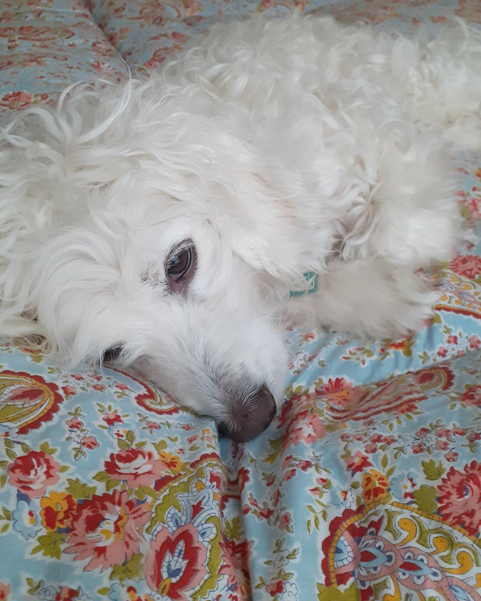 Trying to photograph this eiderdown with Daisy around. She does love a quilt! #vintage #dogs #dogsoftwitter