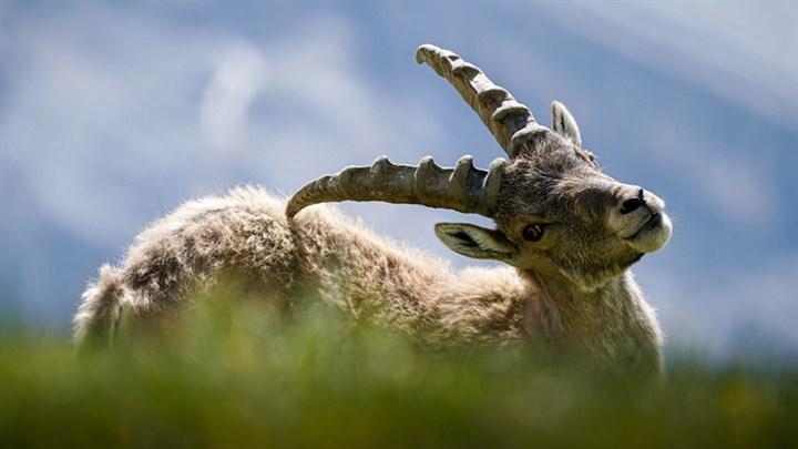 Bakanlık katliamın önünü açıyor: Dersim'de dağ keçilerinin avlanması için ihale! https://t.co/YHYh9JR7YP https://t.co/pfDNQ2jDSd