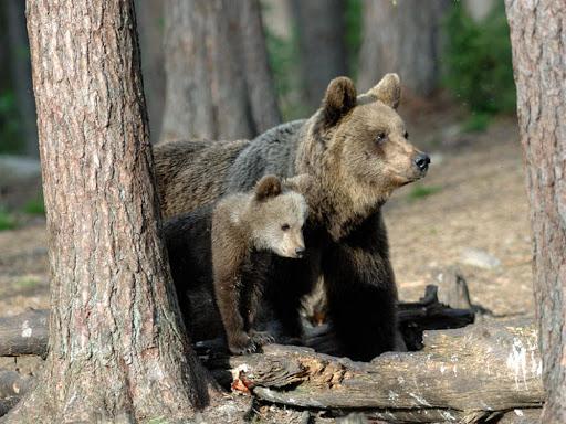#INDIRETTACONLAV GAIA-JJ4 e la convivenza con gli orsi in Trentino Ne parliamo oggi con Alessandro De Guelmi, veterinario di fauna selvatica, che ha lavorato con gli orsi, e @massimovitturi, resp. LAV Animali selvatici Segui la diretta Facebook alle 18 ➡️ https://t.co/FGAM0jb39g https://t.co/W9G8qJvWlU