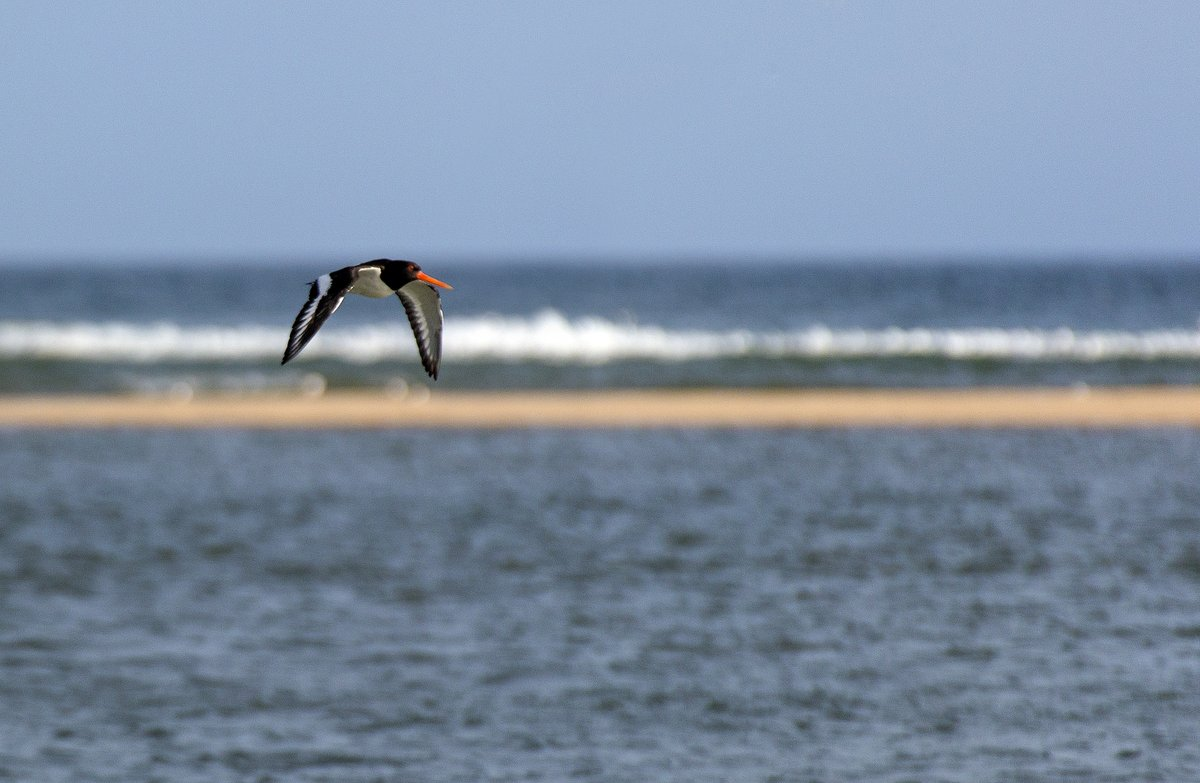 Friday morning moment of calm... an Oystercatcher on Blakeney Point.  #FridayMotivation <br>http://pic.twitter.com/2OTR7mzo5l