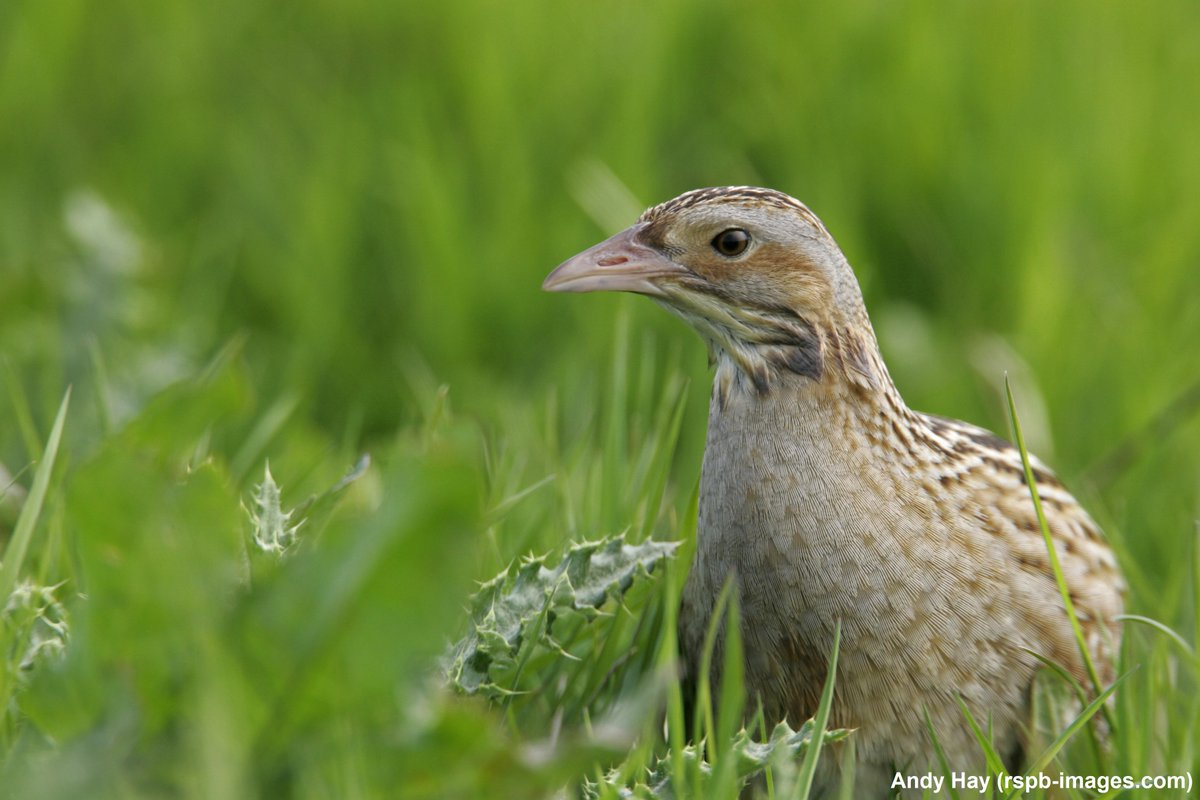 RSPB Scotland is launching an ambitious project to protect corncrakes with help from National Lottery Heritage Fund grant: bit.ly/3eb9ZfZ @HeritageFundUK @HeritageFundSCO
