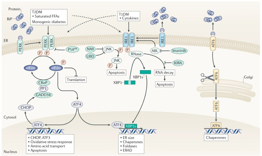 test Twitter Media - Check out this Review on pancreatic #βcells in type 1 and type 2 #diabetes mellitus: different pathways to failure by Décio L. Eizirik, Lorenzo Pasquali & Miriam Cnop https://t.co/eIfmafj6Zf https://t.co/uc9JEcgzkt