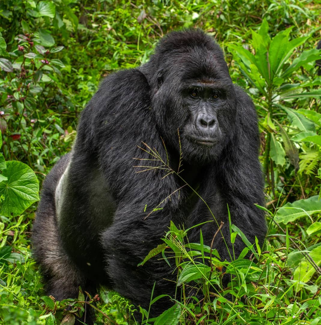 Short Uganda gorilla safaris offer such memorable experiences just as any other trips. Here is one of our popular short gorilla trips  https://t.co/Uwl7ba4bNf #4daysUgandagorillasafari #4daysbwindigorillasafari #4daysbwindigorillatrekkingsafari https://t.co/unaC2QUPsn