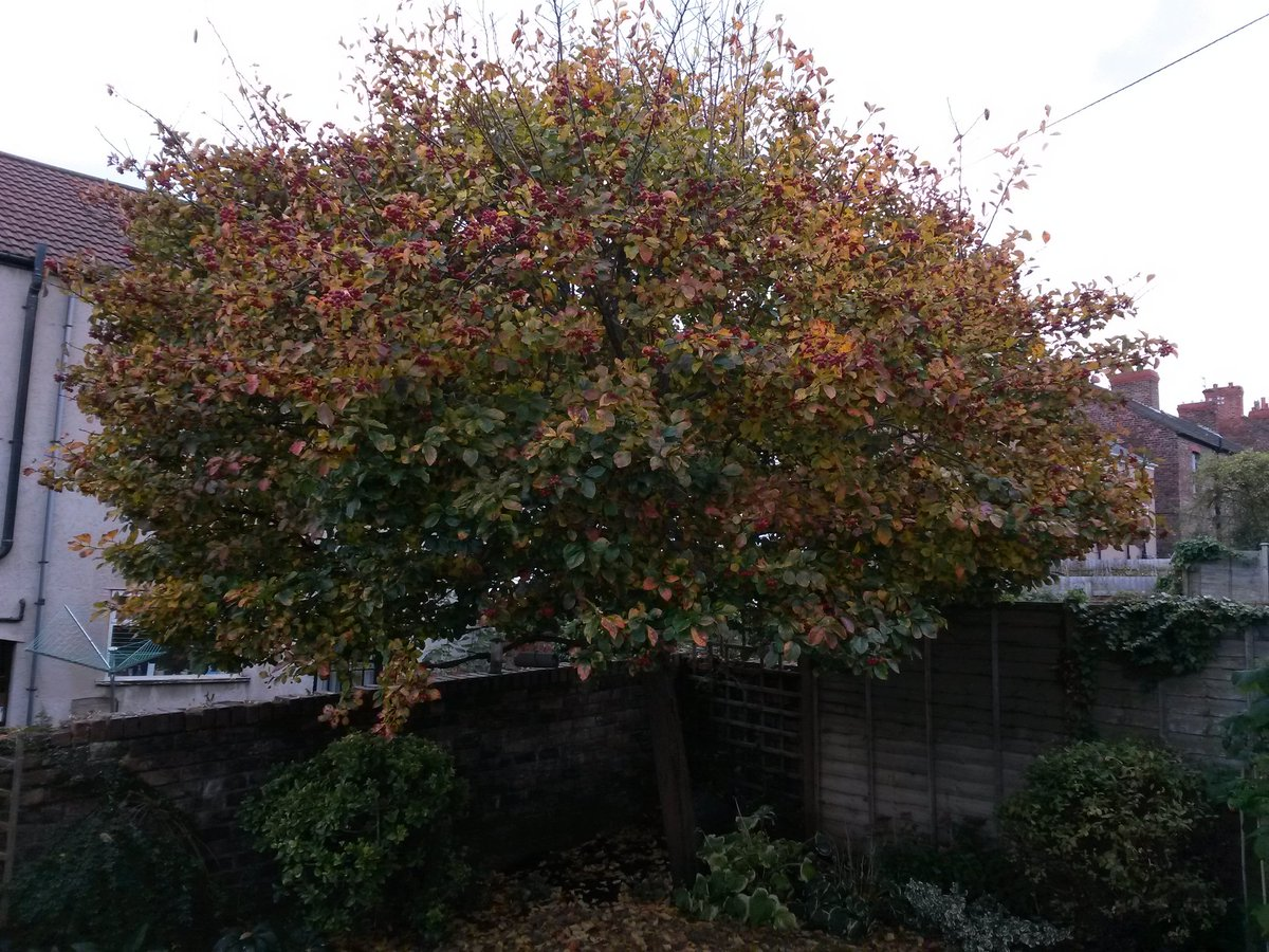 ... and the tree in our garden in full glorious autumn colour. pic.twitter.com/WgRmbx7X5H