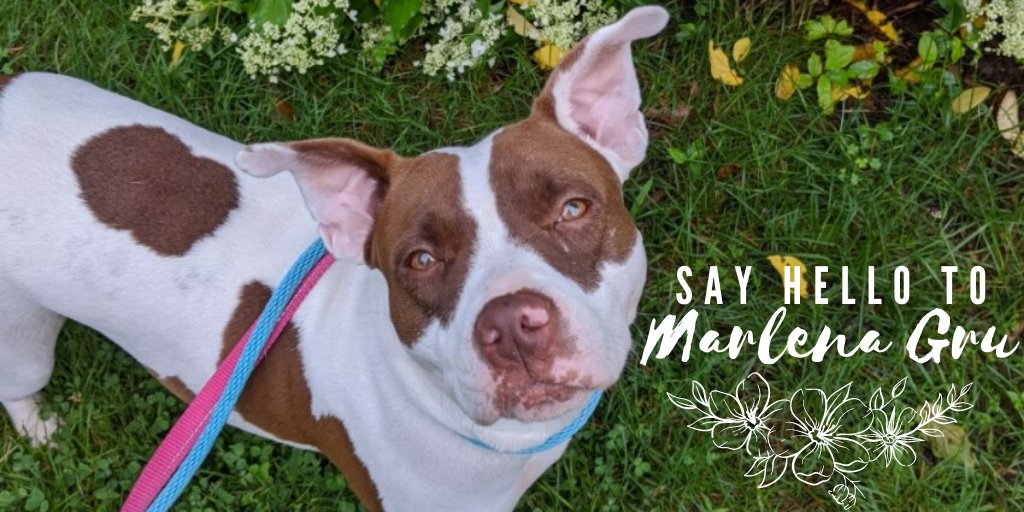"""Marlena Gru's looking for a strong, trustworthy pack leader to provide slow intros with dogs, develop her confidence, provide structure & further her training. She's a """"rough & tumble"""" player, so older kids only! Email adoptions@lasthopek9.org for more! #PitBullTerrier #adoptablepic.twitter.com/01vpjIohZN"""