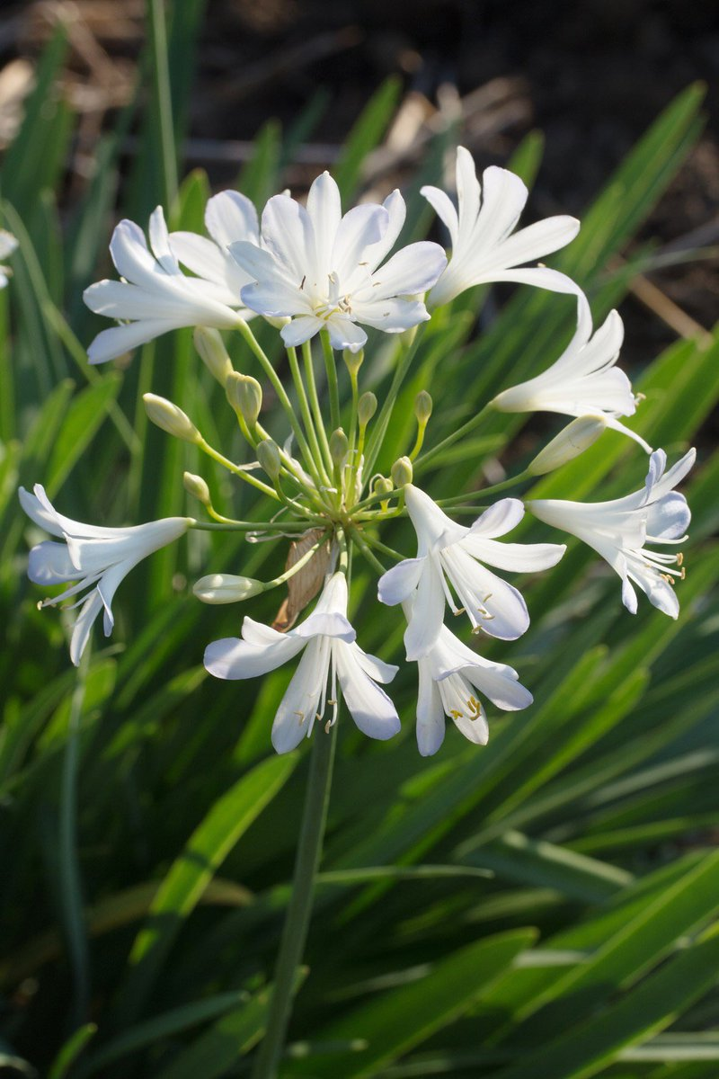 🌿 Isn't Agapanthus 'Silver Baby' beautiful? We have a wide range of #Agapanthus plants available, ranging from £12-£70! Pls browse our web site - we can 🚚 deliver free of charge  throughout #London (within M25), #Herts & #Essex - we also stock #pots & #compost too! https://t.co/3CENeNP1UI