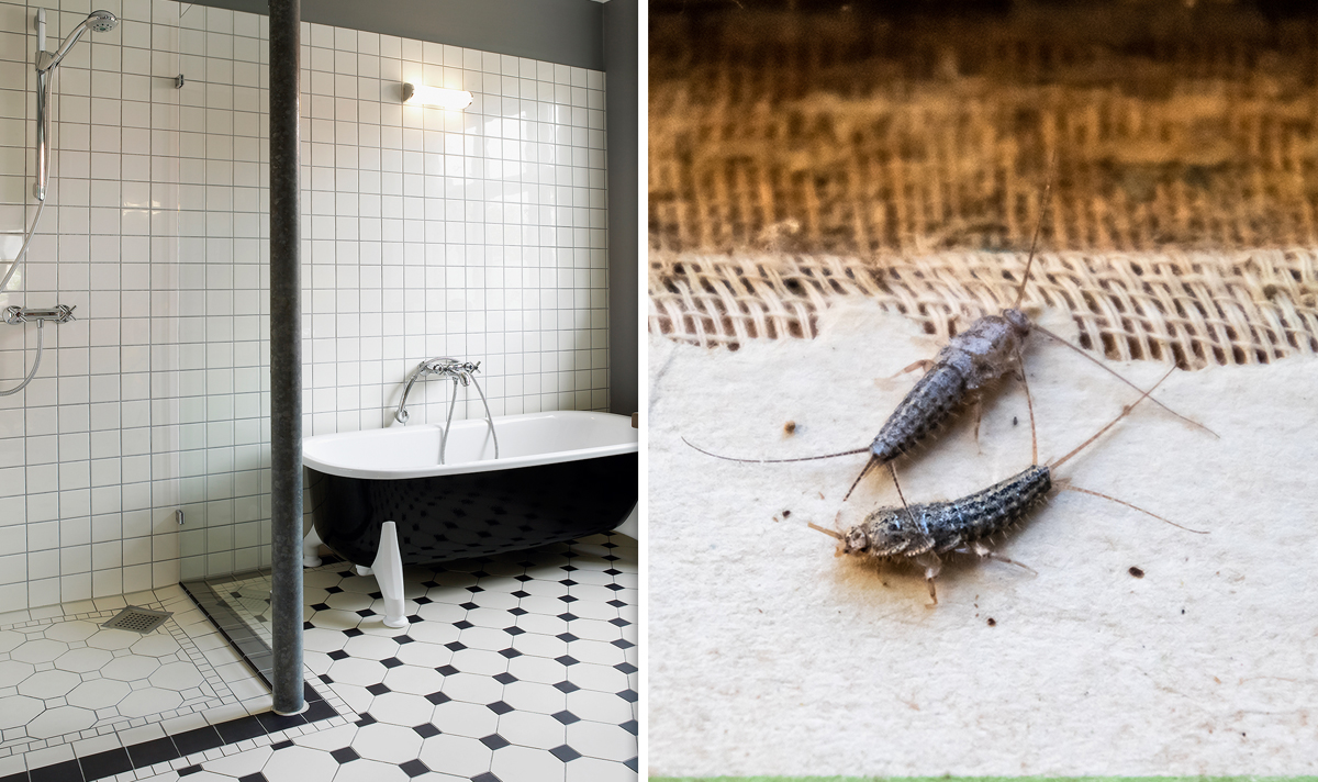 This is how to get rid of silverfish in your home according to @mrshinchhome fans https://www.express.co.uk/life-style/property/1307516/cleaning-tips-how-to-get-rid-of-silverfish-mrs-hinch … #hinchers pic.twitter.com/ibJYHk5ekK