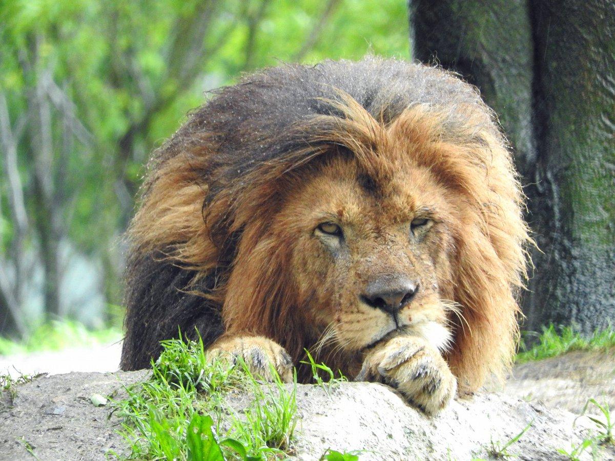 自慢のたてがみも雨に濡れると……#ライオン #アフリカンサファリ