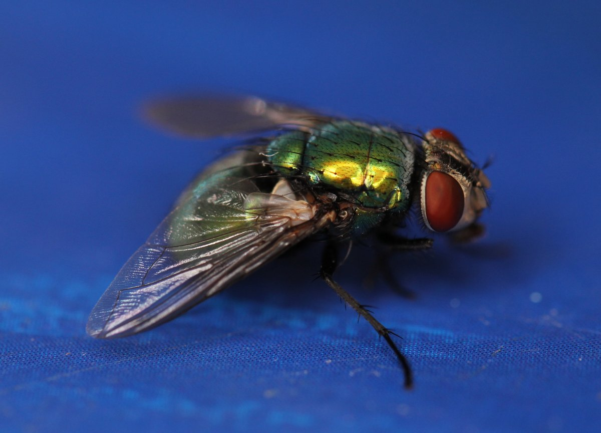 Ok so like, downside, there's a fly in my house. BUT UPSIDE, they're green, and that's pretty cool, ya know?
