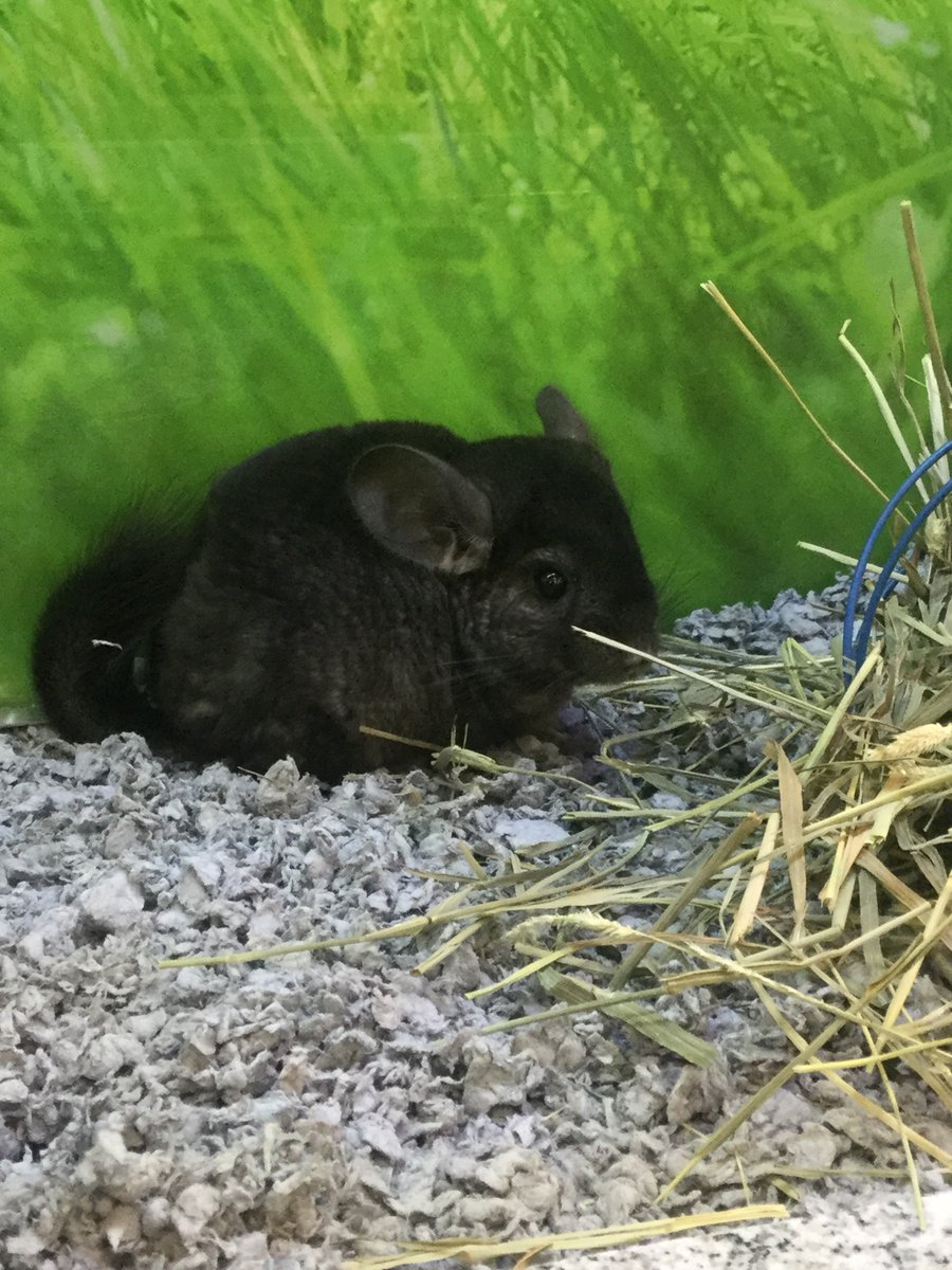 Meet our new #chinchilla this little guy is a sweetie looking for a new home. Fun fact of the day Chinchilla's come from the Himalayas so they need to stay nice and cool. These pets can live 10 years! #cute #stockton #pets https://t.co/JnzsZtNBVG