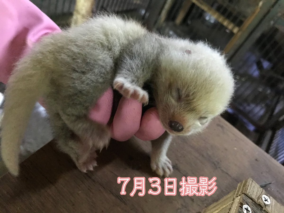 6月29日生まれのレッサーパンダのこどもたちです。  モニターでも観察していますが、渝渝が巣箱から出ているタイミングでこどもたちのチェックをしています。  #旭山動物園 #asahiyamazoo #レッサーパンダ #Redpanda #渝渝のこども https://t.co/sufWnEg95K