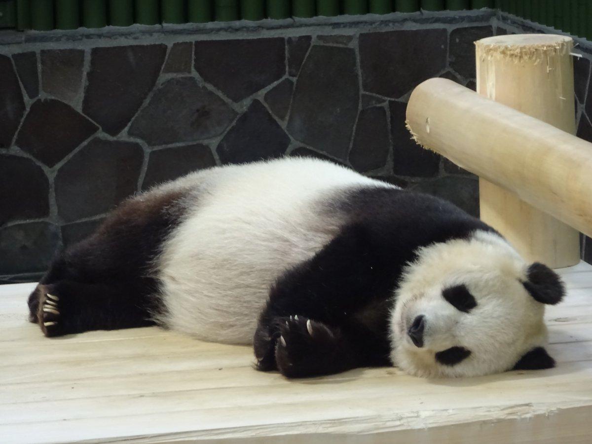 今日のたんたんさんは、よく寝ます(笑)リラックスしてくれてると思い、ゆっくりしてもらいましょうかね😉#きょうのタンタン #王子動物園#眠れる森の美女パンダ
