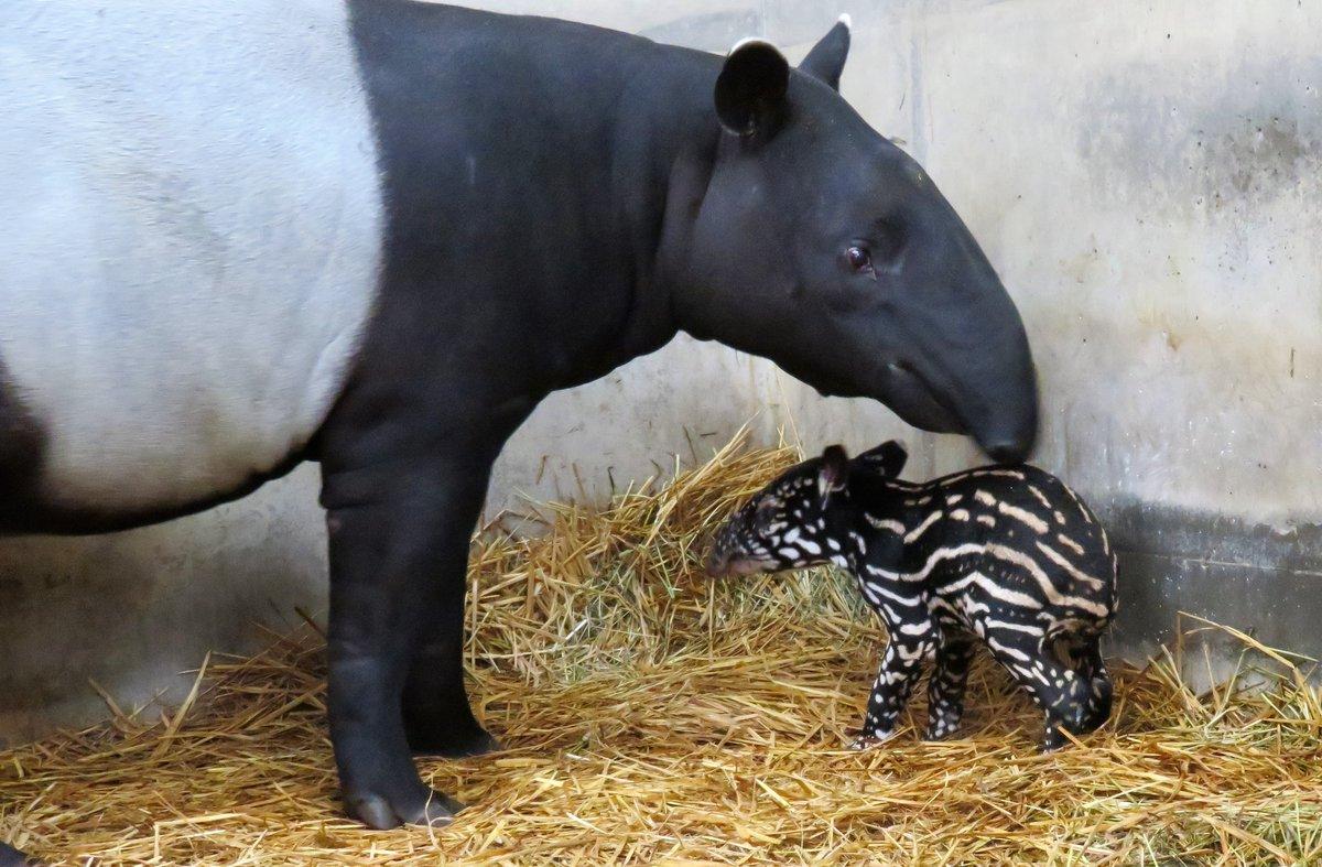 【動物】マレーバクの赤ちゃん誕生しました!#日本平動物園#マレーバク#オリヒメ#フタバ#赤ちゃん