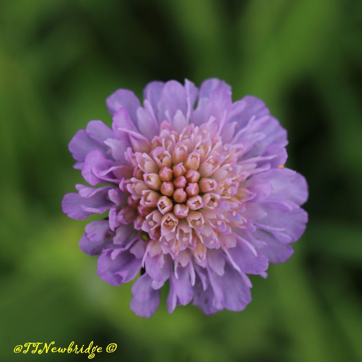 Scabious  #LiffeyLinearPark   #Wildflowerhour <br>http://pic.twitter.com/6m5BuXVAQN
