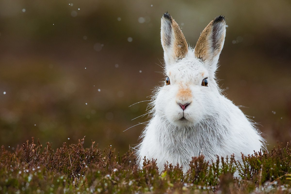 Beardie was a legendary mountain hare and it was this individual who ignited my addiction to photographing these amazing animals many years ago.