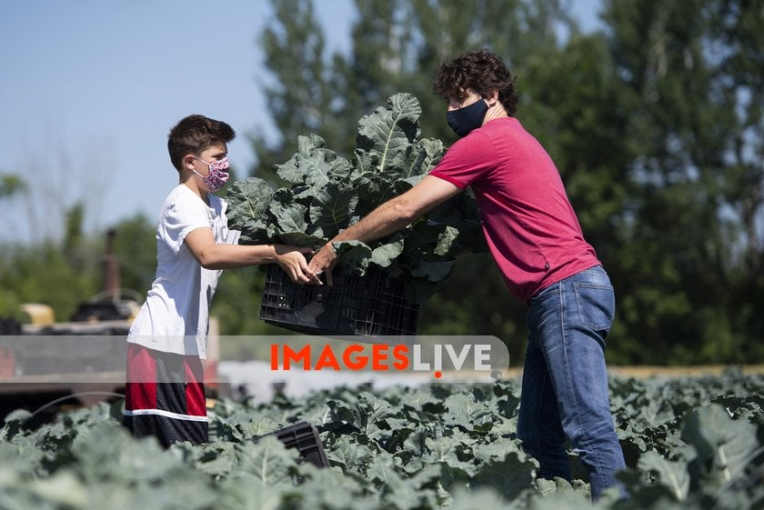 Ottawa, on, Canada: Prime Minister Justin Trudeau hands a box of broccoli to his son Xavier as they harvest vegetables at the Ottawa Food Bank Farm in Ottawa, on Canada Day, Wednesday, July 1, 2020, in the midst of the COVID-19 pandemic. pic.twitter.com/Zz0Q0uUic8