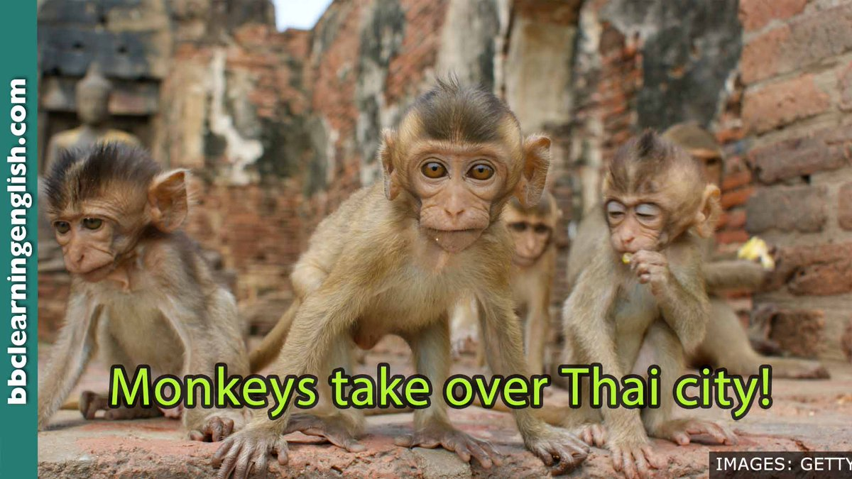 🐒 Cheeky monkeys! Look how they've completely taken over Lopburi, an ancient Thai city. 🐒 🐒 Watch them here and tell me: How many monkeys live in the temple house? #learnenglish #bbclearningenglish #elt #esl #vocab #vocabulary #grammar #monkeys #Lopburi