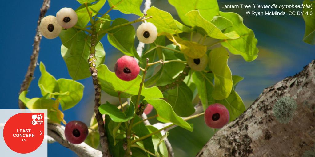 Actualizadas las categorías de casi 2000 árboles en la Lista Roja de UICN
