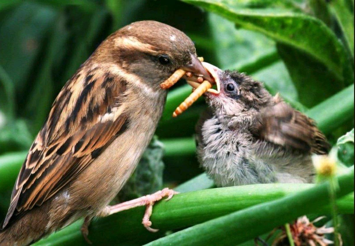 Sin embargo, en 1960, el ornitólogo Tso-hsin Cheng mostró un estudio que decía que estás aves en realidad se alimentan más de insectos que de granos, y que su presencia mantenía a raya las poblaciones de plagas. Esto concientizó a los líderes chinos.pic.twitter.com/lWOhFKBdNo