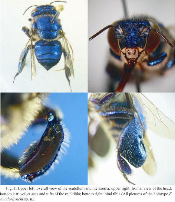 Otro ejemplo de abejas de color azul, una especie de las abejas euglosinas que polinizan a orquídeas https://twitter.com/revistaoctl/status/1281612402367365120…pic.twitter.com/XineHi29TE