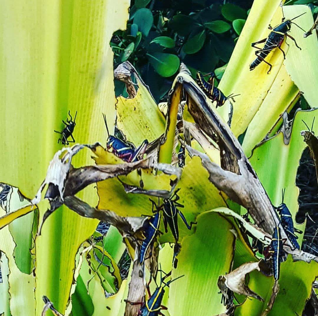 Sin embargo ya era tarde, las poblaciones habían desaparecido de gran parte del país, lo que generó un desequilibrio ambiental y provocó una gran plaga de insectos, sobre todo de langostas y chinches que fueron precedente de otro evento: La Gran Hambruna China.pic.twitter.com/XqopcoF0ef