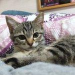 嬉しいけど遠慮してほしい…熱帯夜でもベッドを温める猫ちゃん