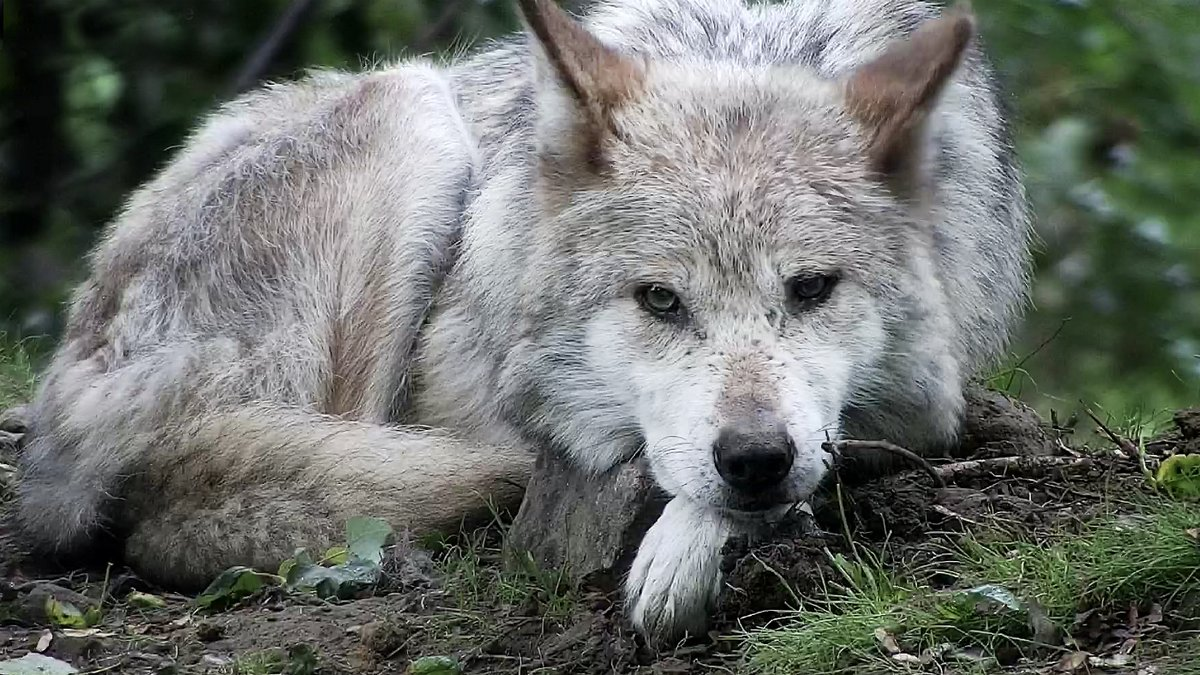 Mexican gray wolves once roamed in abundance in the American Southwest thru central Mexico. Today, the lobo is the most endangered gray wolf subspecies with 163 wild lobos in the US.  Join 12-yr-old Rosa- a beautiful mom of 10- right now via live webcam ➡