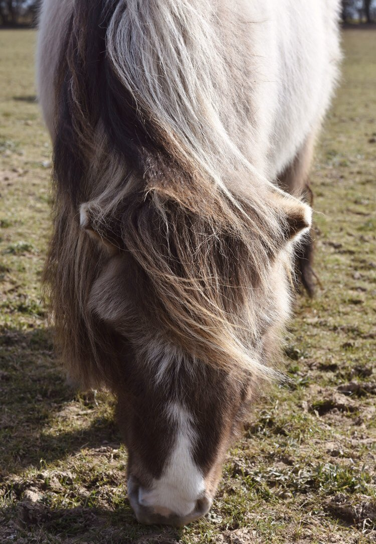 Fun Fact Friday!  - Did you know that horses are herbivores? This means that they don't eat meat  - Often, horses and ponies live off of a diet of grass, hay and chaff  -  #thelittleponyclub #pony #horse #shetlandpony #fun #littlejockeys #riding #horseriding #ponyfun #friendspic.twitter.com/xHYv6HnLnM