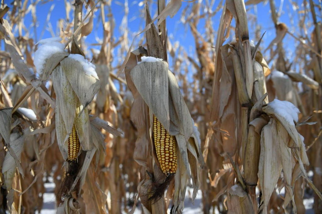 China books second-biggest U.S. corn purchase on record, also buys wheat