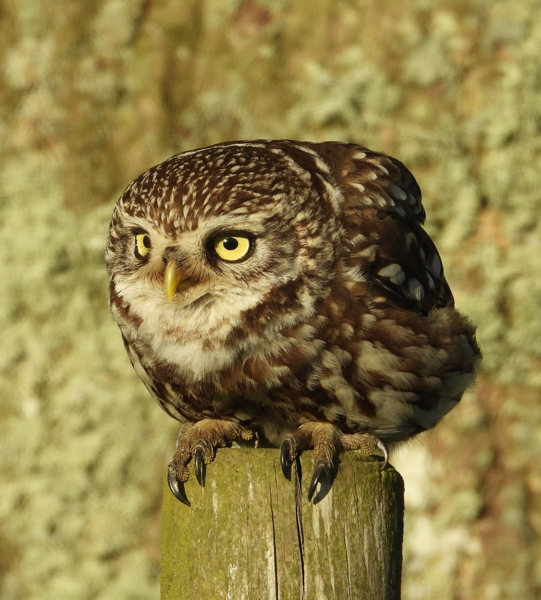 """""""Watching you watching me"""" Little Owl from up the moors today  Nikon P1000. <br>http://pic.twitter.com/c2a0kVSrJ5"""