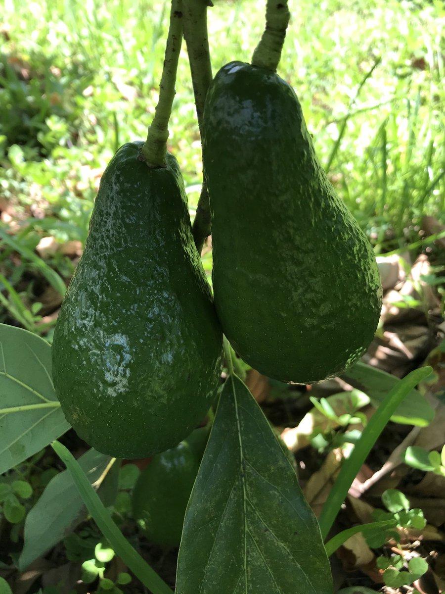 Avocados #naturelovers #GardenersWorld #fruitspic.twitter.com/fn5o7gcnv3