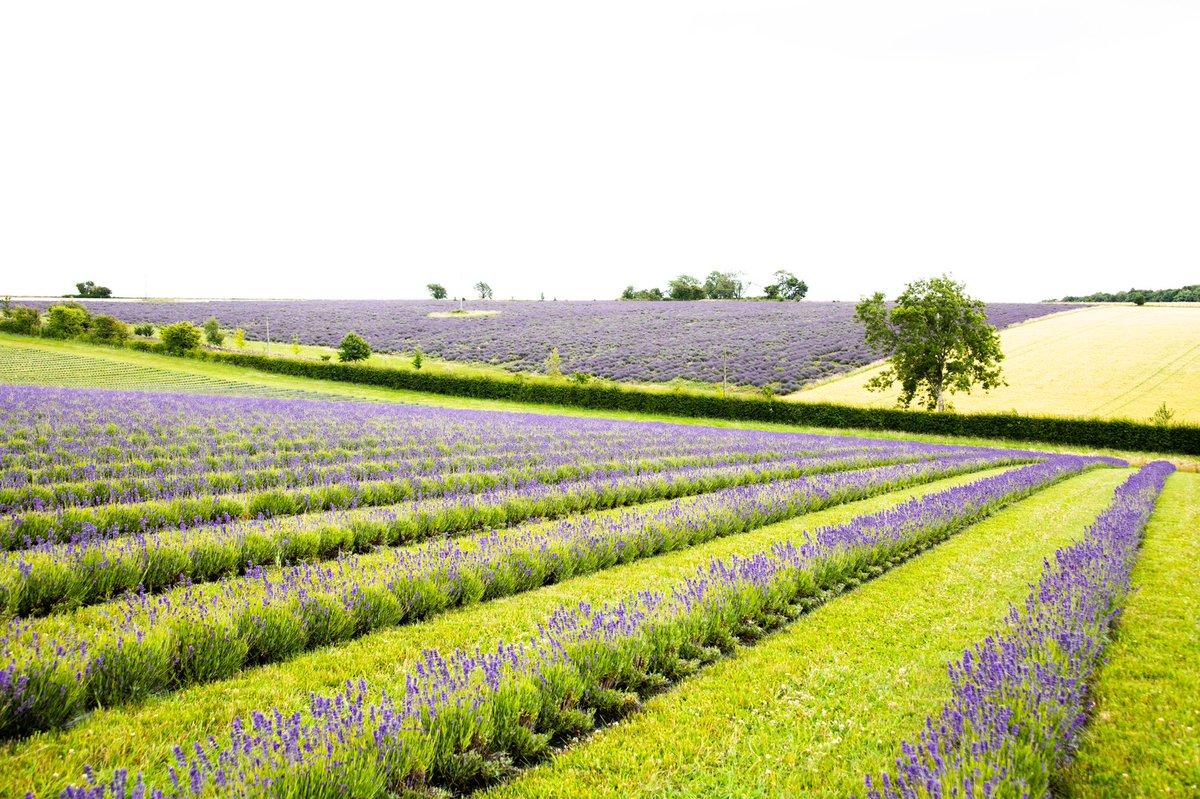 Lovely morning at Cotswold Lavender Park today #lavender #cotswolds #fields #colour #photographer #nikon #d850 https://t.co/Asr5D2ah9S