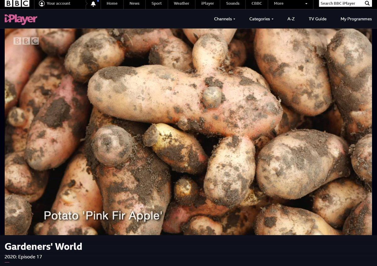 My picture of Solanum tuberosum 'Pink Fir Apple' AGM - Maincrop salad potato from #GAPGardens used on tonight's    #GardenersWorld  https://www.gapphotos.com/imagedetails.asp?view=solanum-tuberosum-pink-fir-apple-agm-&imageno=309163…pic.twitter.com/3DZiJNdZe8