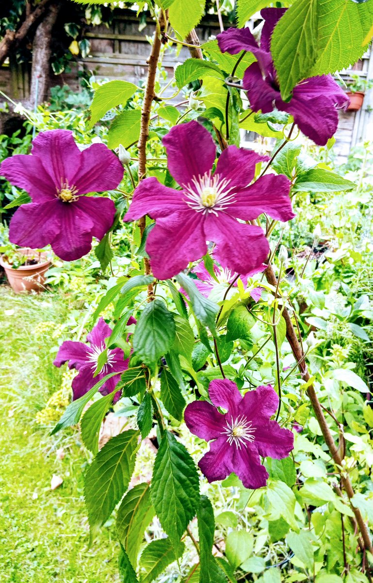 """Huh? Nick Bailey how can a #Clematis be both """"larger"""" and """"compact?""""  But, who knew about """"Tepals""""  Love them  I'm still not certain how to tell whether my clematis is Group 2 or Group 3   #GardenersWorld pic.twitter.com/gl4CtMCS2s"""