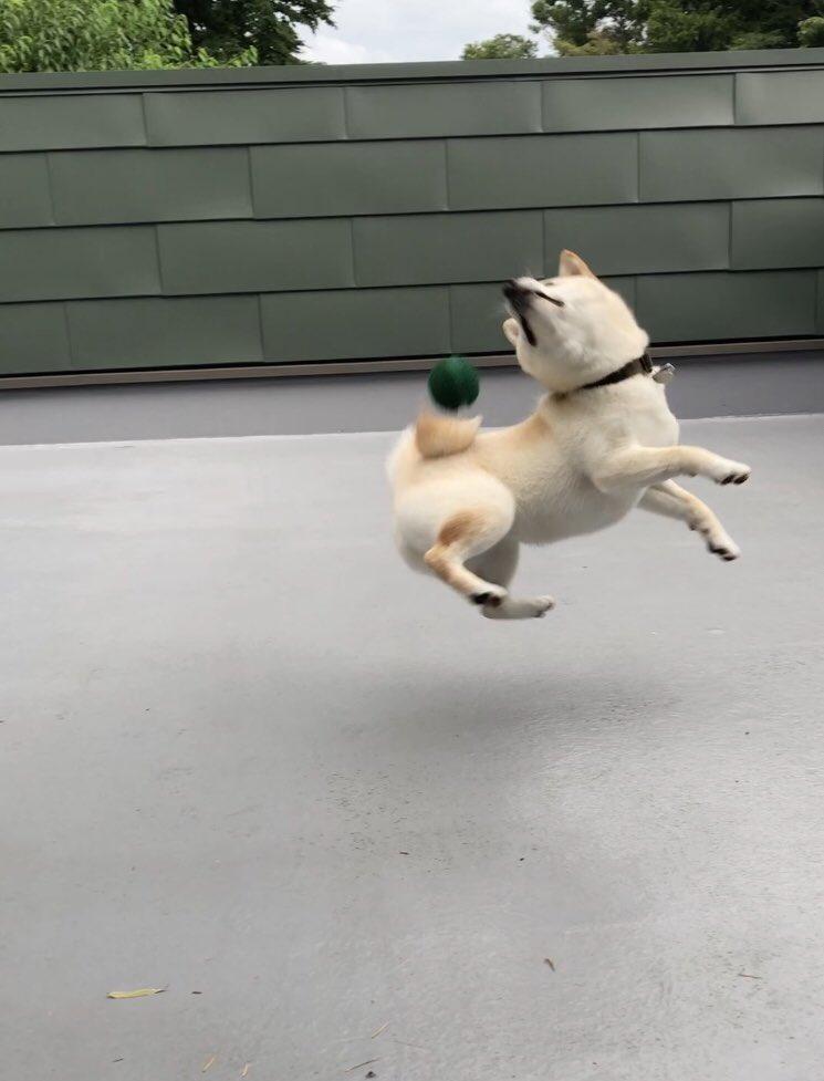 空中に舞う凪さん⚡️  写真失敗しただけ笑笑 #柴犬 #白柴 #凪のお暇 #失敗写真 https://t.co/zsIlWEigP2