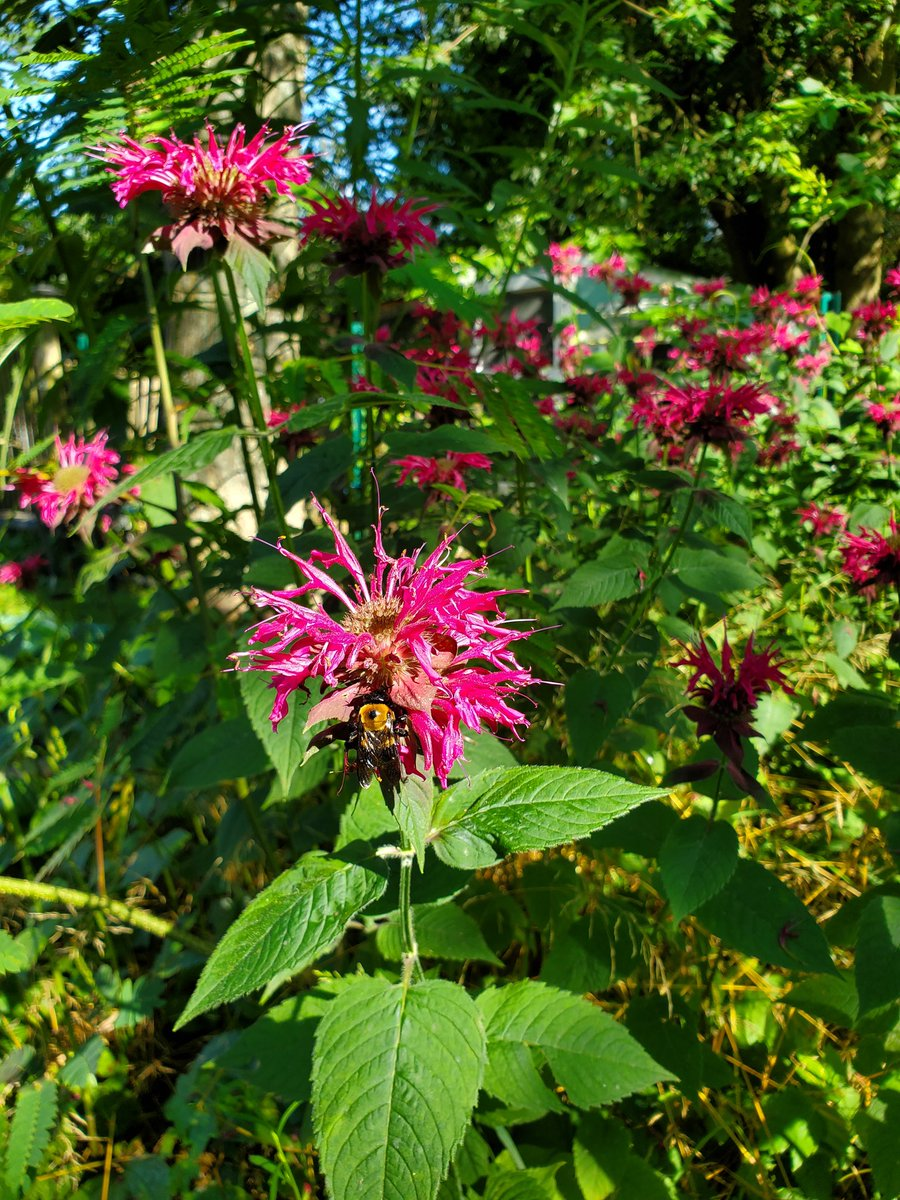 We had a tropical storm today. It made landfall in the same inlet as Hurricane Sandy did. In celebration of not losing a house today, here is a  picture of monarda &  a bee from my garden. pic.twitter.com/gWhBsfjVM9