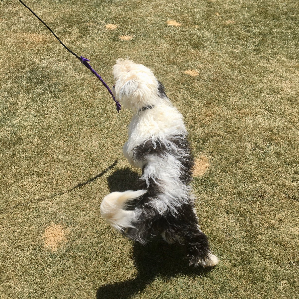 Trying to catch the elusive fluffy dogfish #sheepadoodle #sheepadoodlepuppy #dogfish #fishing #gonefishing #dogtoy #fluffydog #floofydog #sheepdog #sheepdogpuppy #dogchase #doggames #dogjump #dogjumping #louisava #doggydaycare #dogsitter #dogsofvirginia #poindexterparkpetspic.twitter.com/xqICGomvh4