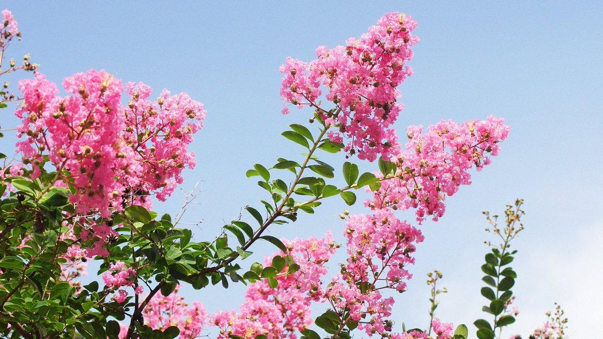 さるすべり|旬の植物漢字では「百日紅」と。約100日間、ピンク色の花を咲かせるということが名前の由来となっていますが、幹がすべすべで、猿も登れないということから、「猿滑」とも書きます。暦生活()